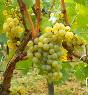 Chardonnay výskyt Francie