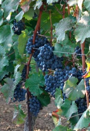 Rakouská vína Zweigeltrebe