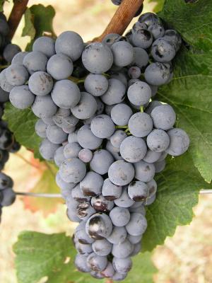 Moravská vína Cabernet Moravia